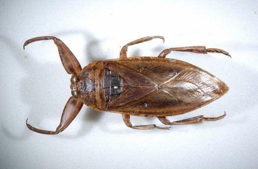 giant-water-bug.jpg
